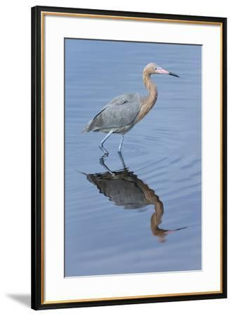 Reddish egret, Egretta rufescens, Merritt Island NWR, Florida, USA-Maresa Pryor-Framed Premium Photographic Print