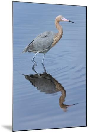 Reddish egret, Egretta rufescens, Merritt Island NWR, Florida, USA-Maresa Pryor-Mounted Premium Photographic Print