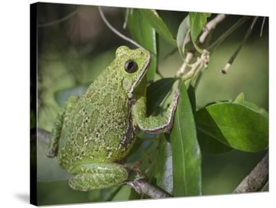 Barking tree frog on branch, Hyla gratiosa, Florida-Maresa Pryor-Stretched Canvas Print