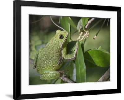 Barking tree frog on branch, Hyla gratiosa, Florida-Maresa Pryor-Framed Photographic Print