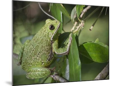 Barking tree frog on branch, Hyla gratiosa, Florida-Maresa Pryor-Mounted Photographic Print