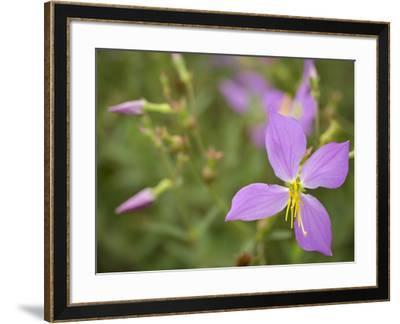Meadow beauty, Rhexia Virginica, Half Moon Wildlife Management Area, Florida, USA-Maresa Pryor-Framed Photographic Print