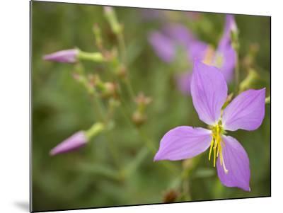 Meadow beauty, Rhexia Virginica, Half Moon Wildlife Management Area, Florida, USA-Maresa Pryor-Mounted Photographic Print
