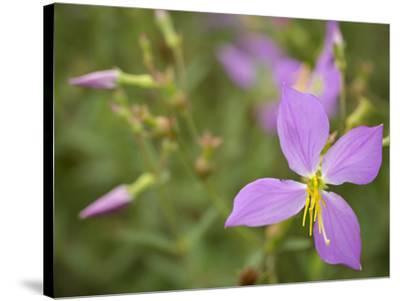 Meadow beauty, Rhexia Virginica, Half Moon Wildlife Management Area, Florida, USA-Maresa Pryor-Stretched Canvas Print