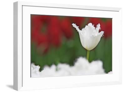 USA, Nevada, Las Vegas. White-fringed tulips in garden.-Jaynes Gallery-Framed Premium Photographic Print
