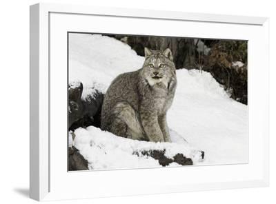 Canada Lynx in winter, Montana-Adam Jones-Framed Premium Photographic Print