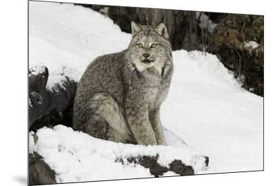 Canada Lynx in winter, Montana-Adam Jones-Mounted Premium Photographic Print