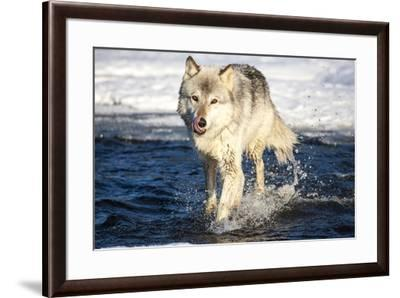 USA, Minnesota, Sandstone. Wolf Running in the water-Hollice Looney-Framed Premium Photographic Print