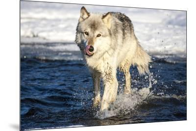 USA, Minnesota, Sandstone. Wolf Running in the water-Hollice Looney-Mounted Premium Photographic Print