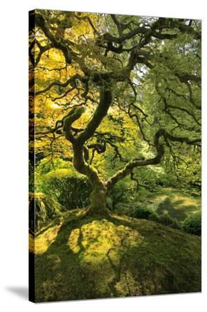 Usa, Oregon, Portland. Japanese lace maple tree-Jaynes Gallery-Stretched Canvas Print
