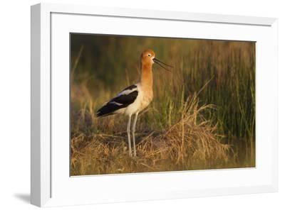 American Avocet Calling-Ken Archer-Framed Premium Photographic Print