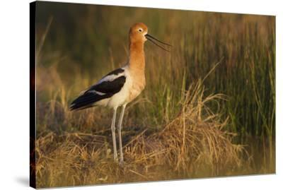 American Avocet Calling-Ken Archer-Stretched Canvas Print