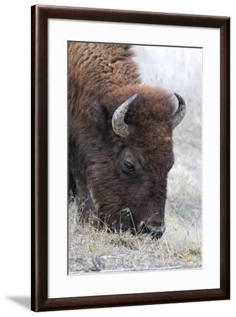 Bison, Yellowstone National Park, Montana, Wyoming-Adam Jones-Framed Premium Photographic Print