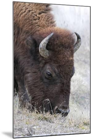 Bison, Yellowstone National Park, Montana, Wyoming-Adam Jones-Mounted Premium Photographic Print