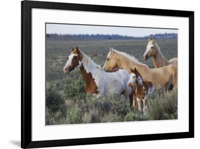 Wild horses, Mustangs-Ken Archer-Framed Premium Photographic Print