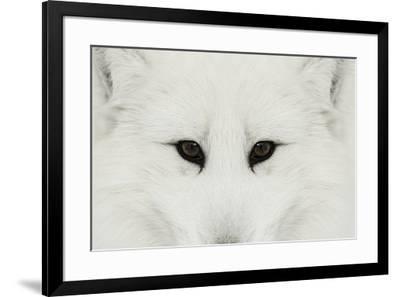 Arctic Fox in snow, Montana.-Adam Jones-Framed Premium Photographic Print