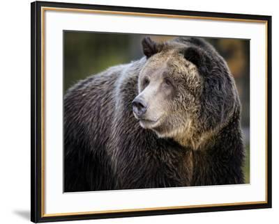 Brown Bear, Grizzly, Ursus arctos, Yellowstone, Montana.-Maresa Pryor-Framed Photographic Print