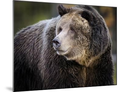 Brown Bear, Grizzly, Ursus arctos, Yellowstone, Montana.-Maresa Pryor-Mounted Photographic Print