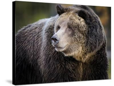 Brown Bear, Grizzly, Ursus arctos, Yellowstone, Montana.-Maresa Pryor-Stretched Canvas Print