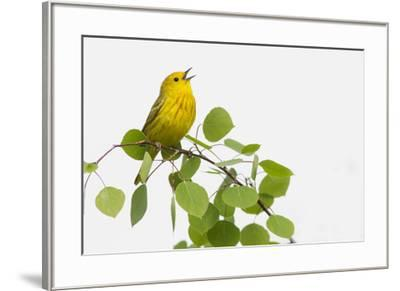 Yellow Warbler singing-Ken Archer-Framed Premium Photographic Print
