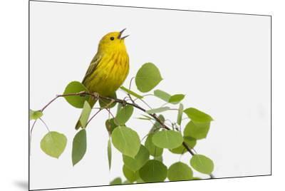Yellow Warbler singing-Ken Archer-Mounted Premium Photographic Print