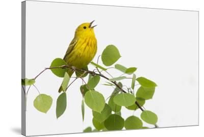 Yellow Warbler singing-Ken Archer-Stretched Canvas Print