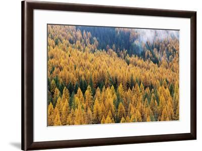 Montana, Lolo National Forest, golden larch trees in fog-John & Lisa Merrill-Framed Premium Photographic Print