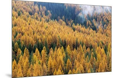 Montana, Lolo National Forest, golden larch trees in fog-John & Lisa Merrill-Mounted Premium Photographic Print