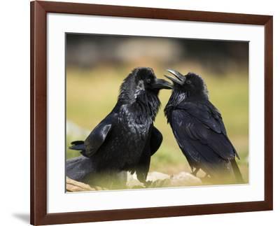 Pair of Common Ravens, Corvus corax, Yellowstone, Montana-Maresa Pryor-Framed Photographic Print