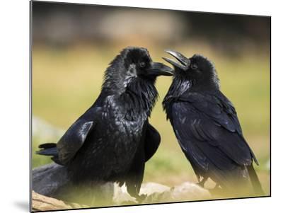 Pair of Common Ravens, Corvus corax, Yellowstone, Montana-Maresa Pryor-Mounted Photographic Print