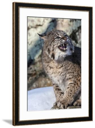 Usa, Minnesota, Sandstone, Bobcat growling-Hollice Looney-Framed Premium Photographic Print