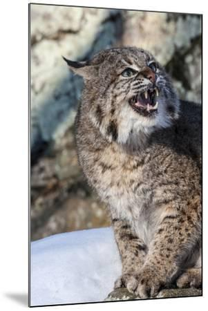 Usa, Minnesota, Sandstone, Bobcat growling-Hollice Looney-Mounted Premium Photographic Print