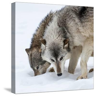 Usa, Minnesota, Sandstone, wolves digging in the snow-Hollice Looney-Stretched Canvas Print