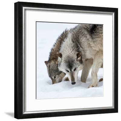 Usa, Minnesota, Sandstone, wolves digging in the snow-Hollice Looney-Framed Photographic Print