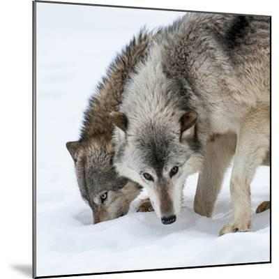 Usa, Minnesota, Sandstone, wolves digging in the snow-Hollice Looney-Mounted Photographic Print