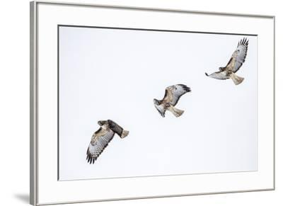 Red tailed hawk in flight sequence at Ninepipe WMA, Ronan, Montana, USA.-Chuck Haney-Framed Premium Photographic Print