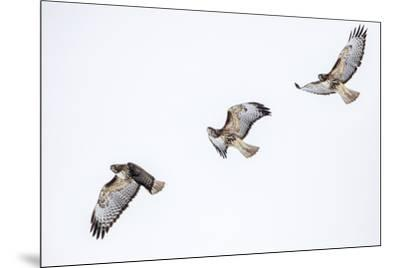 Red tailed hawk in flight sequence at Ninepipe WMA, Ronan, Montana, USA.-Chuck Haney-Mounted Premium Photographic Print