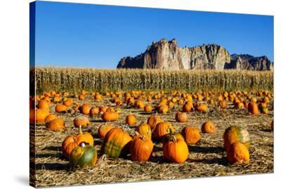 USA, Oregon, Bend. Pumpkin harvest-Hollice Looney-Stretched Canvas Print
