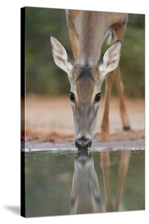 White-tailed Deer drinking, South Texas, USA-Rolf Nussbaumer-Stretched Canvas Print