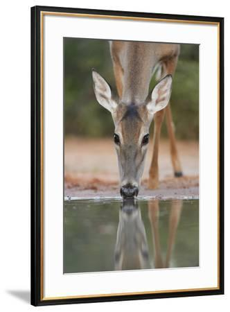 White-tailed Deer drinking, South Texas, USA-Rolf Nussbaumer-Framed Premium Photographic Print