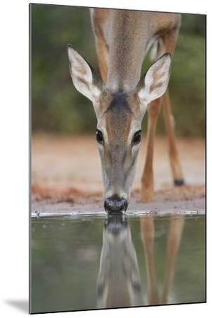 White-tailed Deer drinking, South Texas, USA-Rolf Nussbaumer-Mounted Premium Photographic Print
