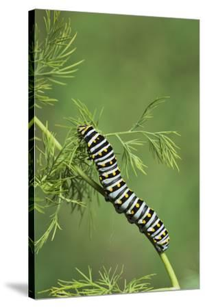 Black Swallowtail caterpillar eating on fennel, Hill Country, Texas, USA-Rolf Nussbaumer-Stretched Canvas Print