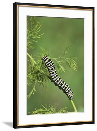 Black Swallowtail caterpillar eating on fennel, Hill Country, Texas, USA-Rolf Nussbaumer-Framed Premium Photographic Print