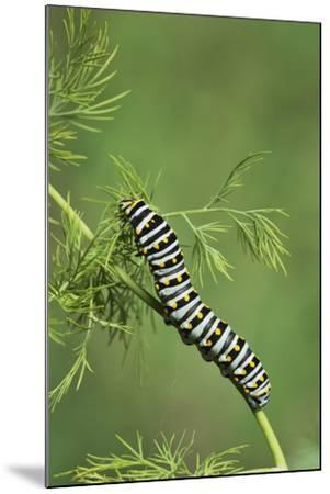 Black Swallowtail caterpillar eating on fennel, Hill Country, Texas, USA-Rolf Nussbaumer-Mounted Premium Photographic Print