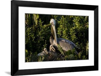 Brown Pelicans, Pelecanus occidentalis, nesting-Larry Ditto-Framed Premium Photographic Print
