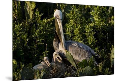 Brown Pelicans, Pelecanus occidentalis, nesting-Larry Ditto-Mounted Premium Photographic Print