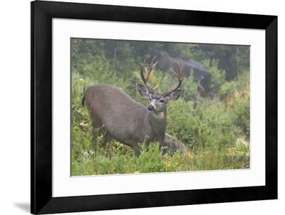 Black-tailed Deer Buck-Ken Archer-Framed Premium Photographic Print
