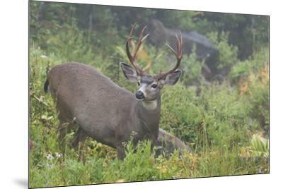 Black-tailed Deer Buck-Ken Archer-Mounted Premium Photographic Print