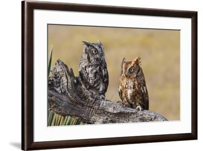 Eastern Screech Owl, Otus Asio, roosting in tree-Larry Ditto-Framed Premium Photographic Print