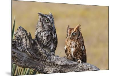 Eastern Screech Owl, Otus Asio, roosting in tree-Larry Ditto-Mounted Premium Photographic Print